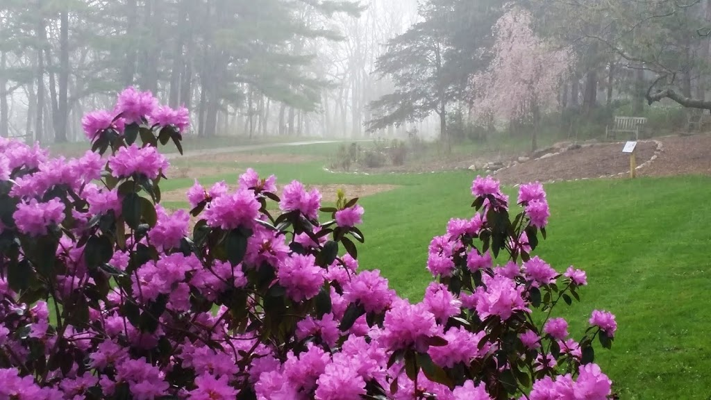 Rhododendrons in the peony garden