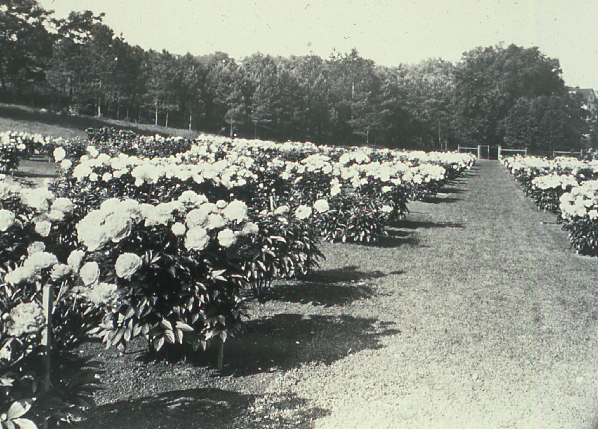 Peony garden 1927
