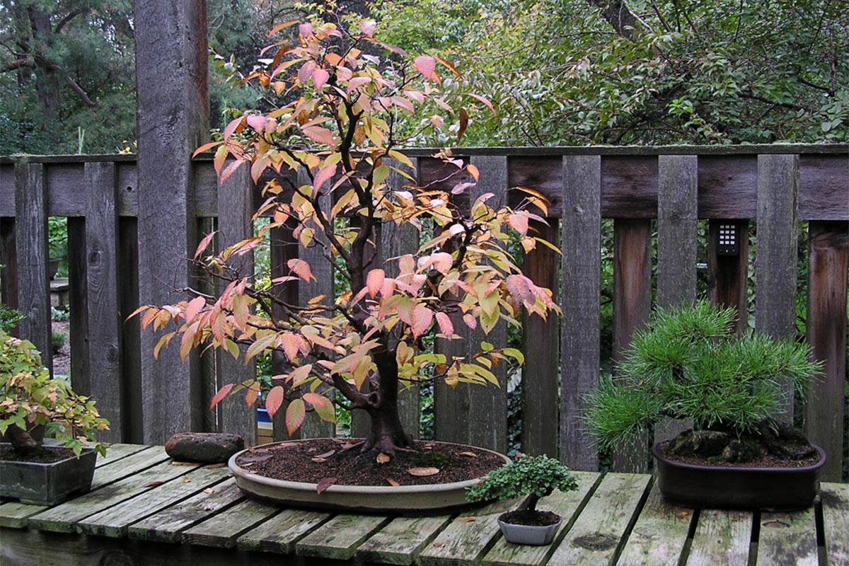 An american hornbeam bonsai