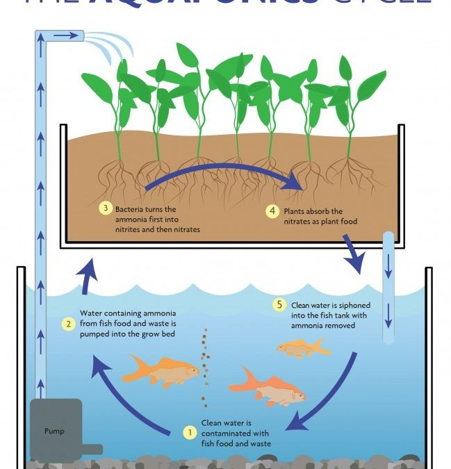 Aquaponics: A Sustainable Solution?