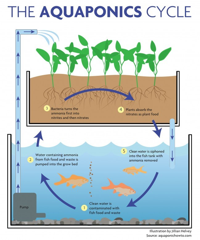 Aquaponics  A Sustainable Solution
