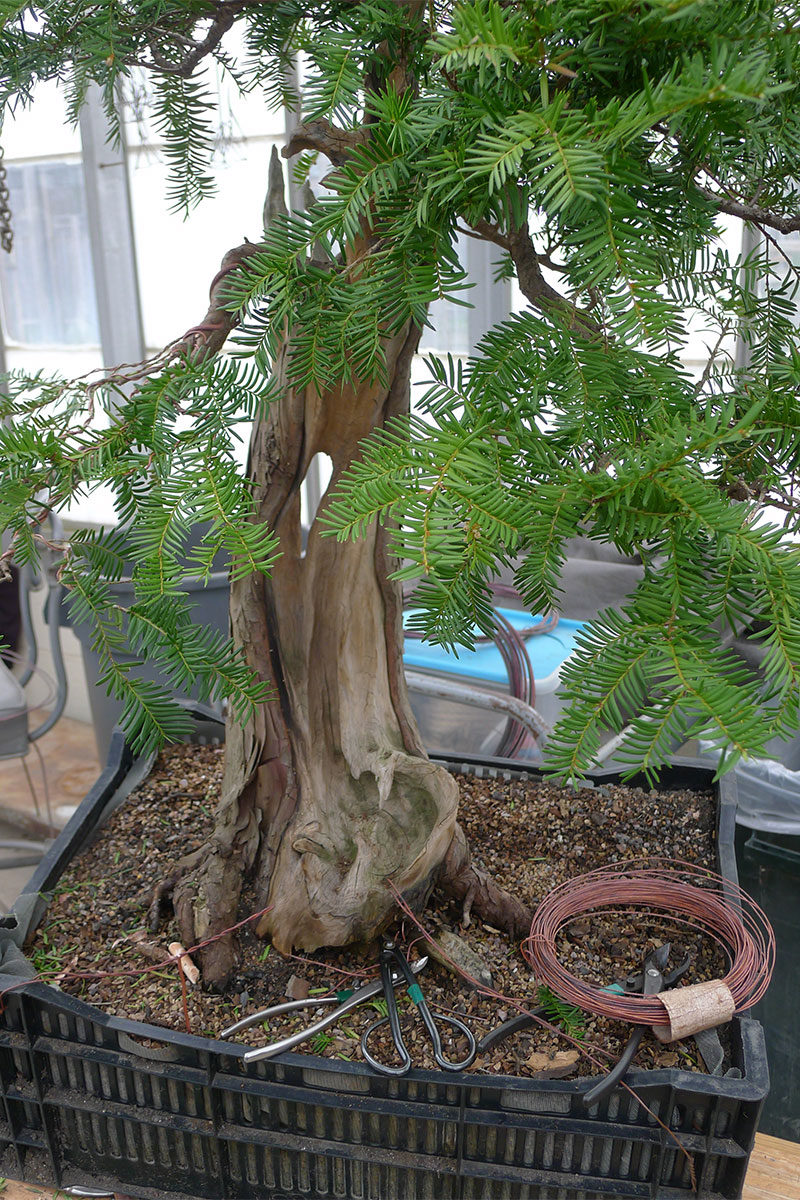 A bonsai in training