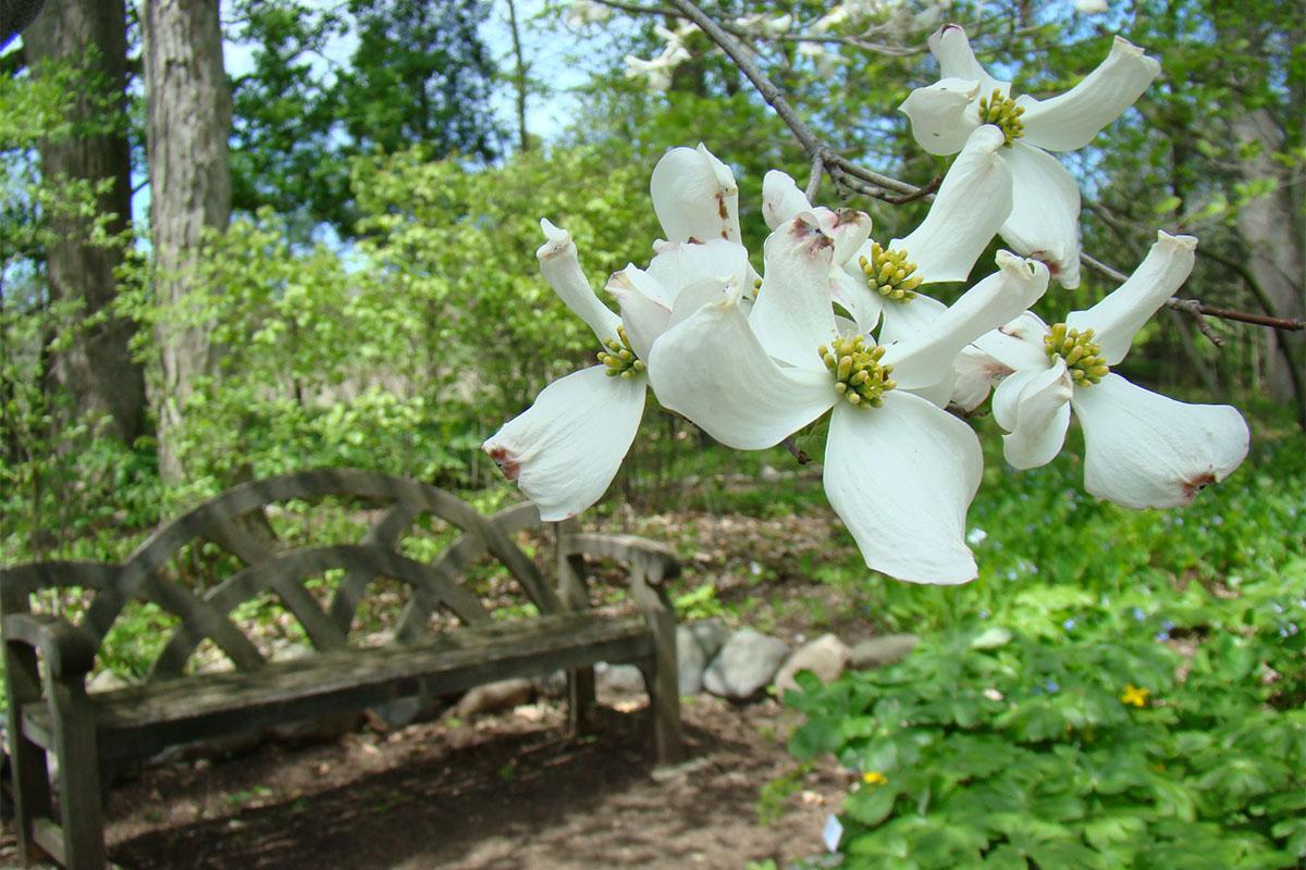 Native dogwood in the HV Smith Wildflower Garden
