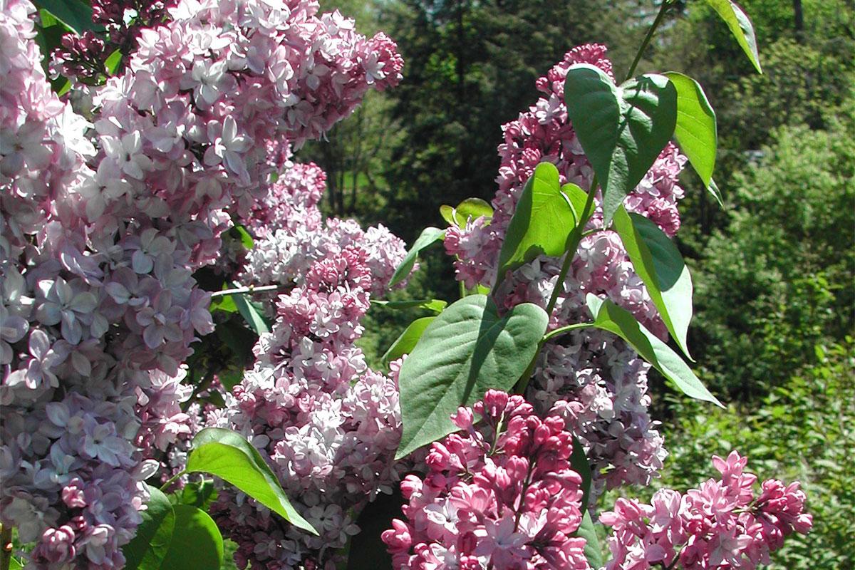 Lilacs in Centennial Shrub Collection-Nichols Arboretum