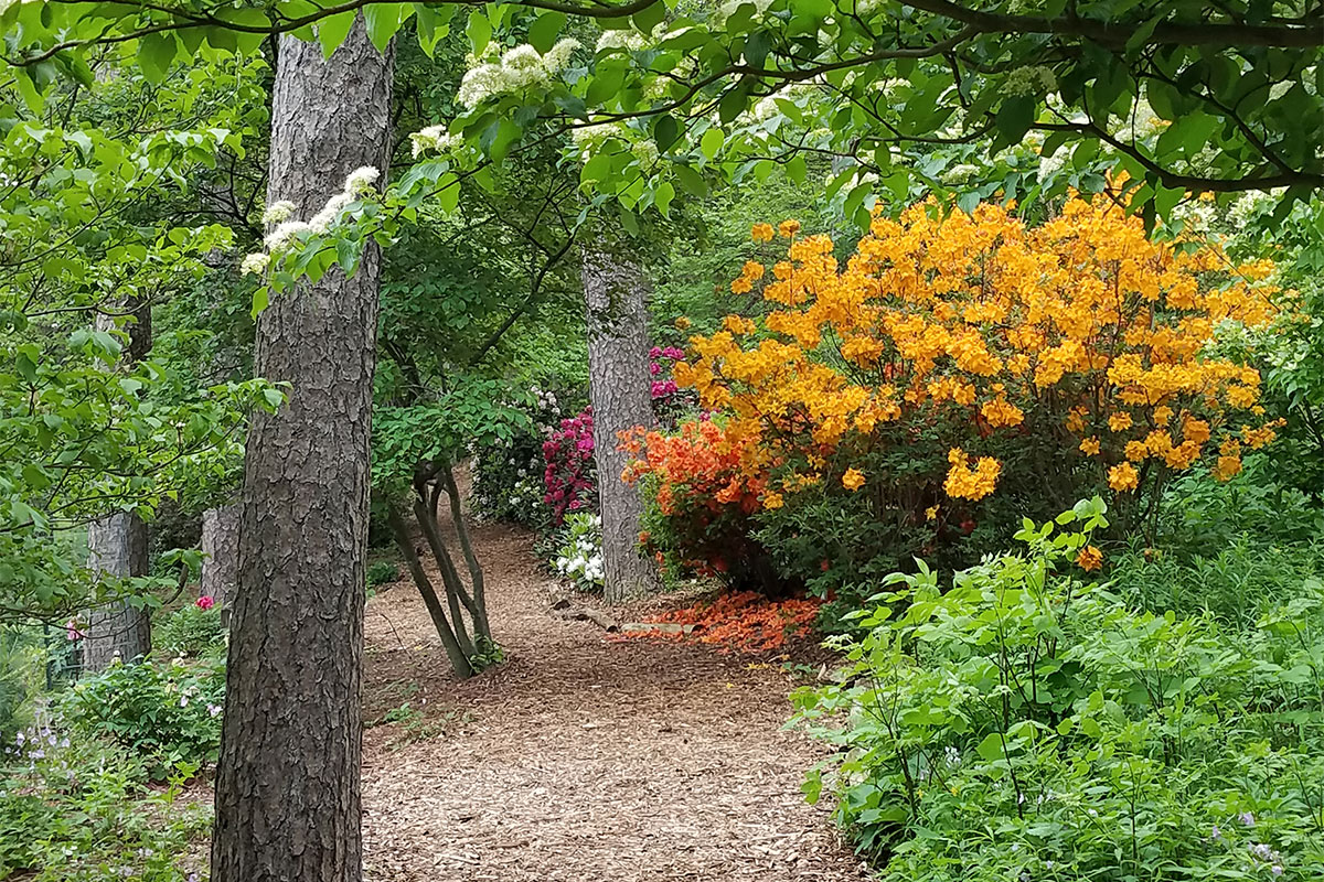 Azaleas in the Arb