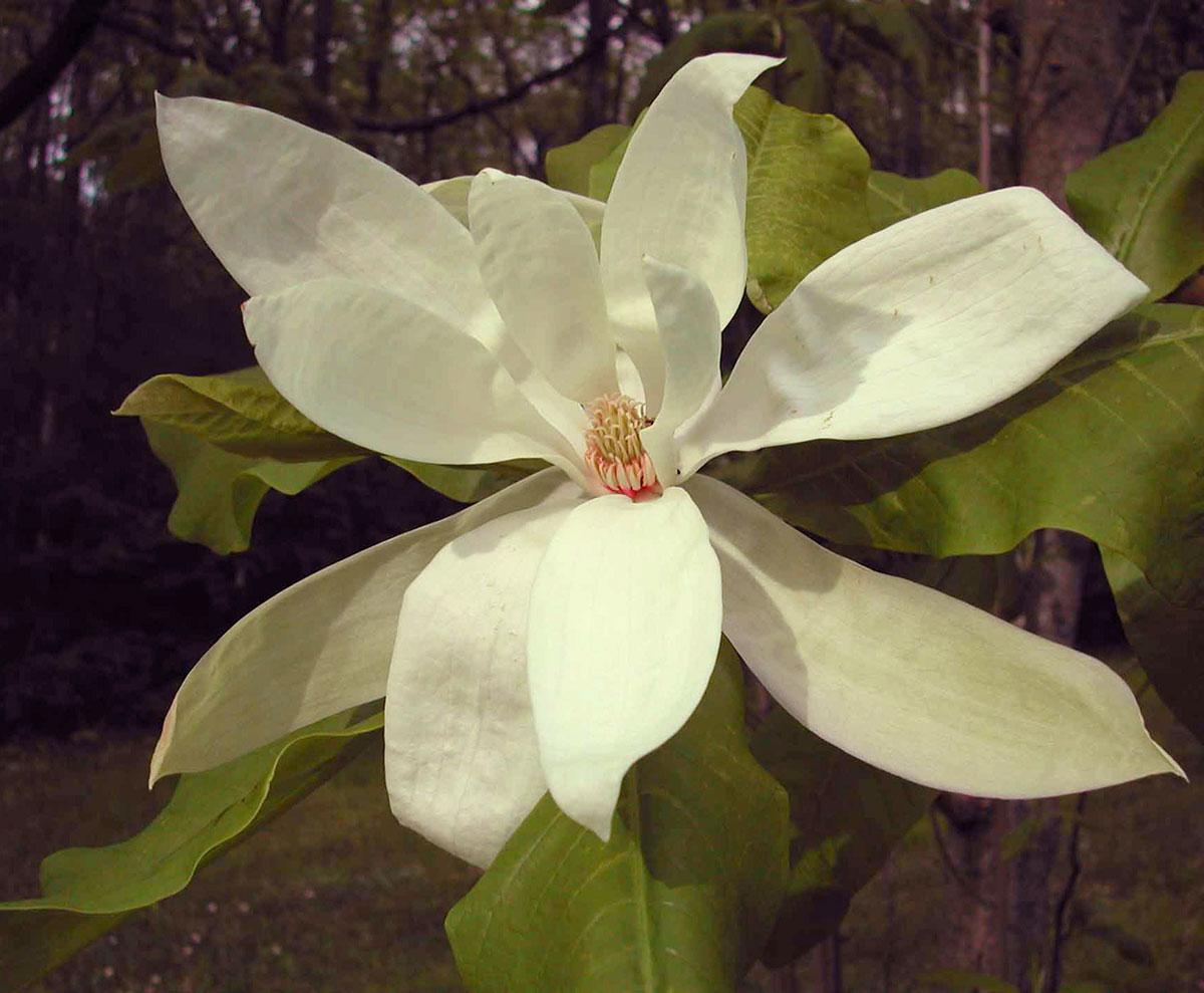 Magnolia in Magnolia Glen, Nichols Arboretum