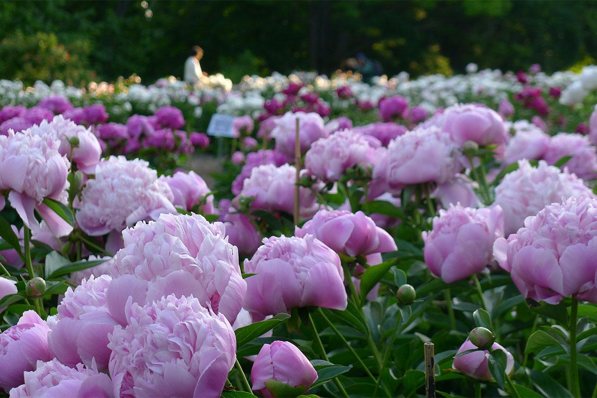 Nichols-Arboretum-Peony-Garden