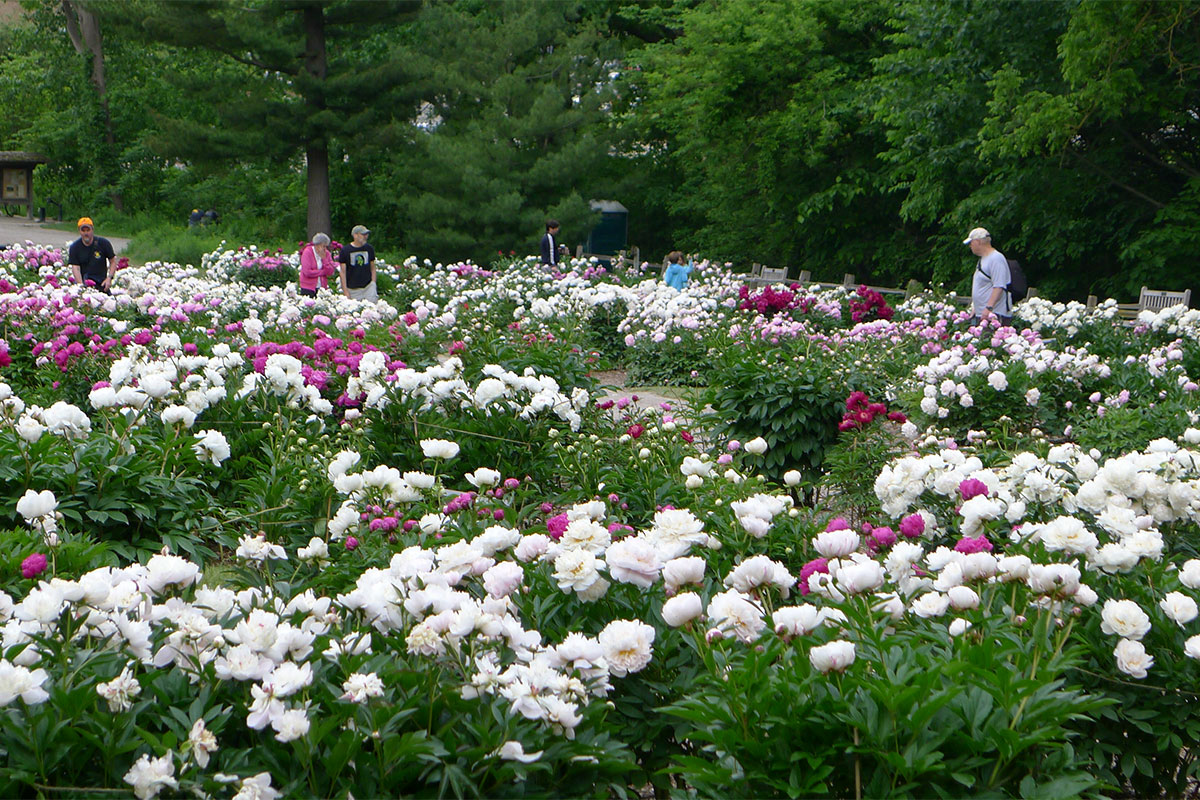 Up To 10,000 Peony Blossoms Appear At Peak Bloom In The Peony Garden.