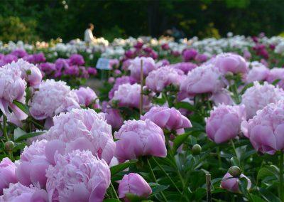 Peony garden at Nichols Arboretum