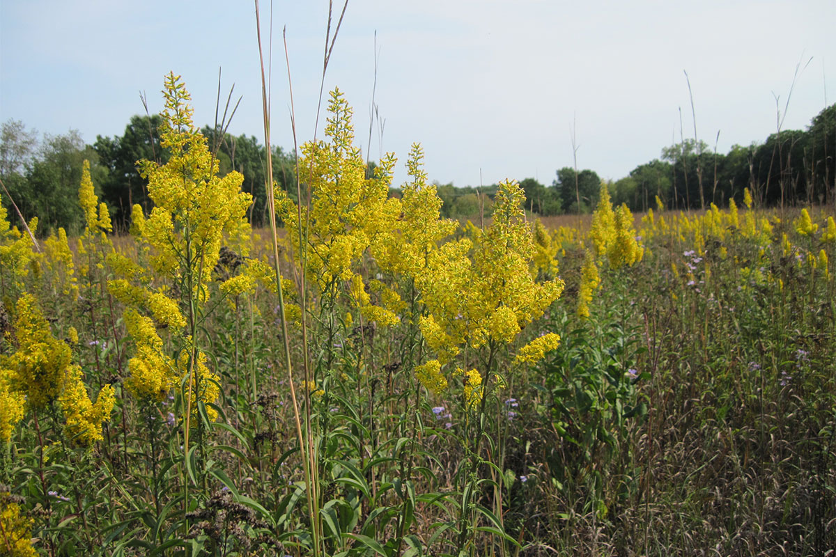 Prairie at Dow Field in the Arb