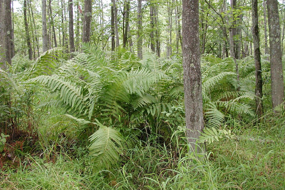 Native Michigan ferns