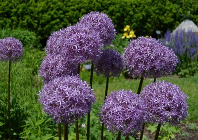 Allium in the perennial garden at Matthaei
