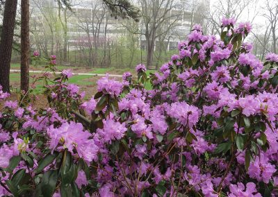 Azaleas blooming on Laurel Ridge near the peony garden in Nichols Arboretum