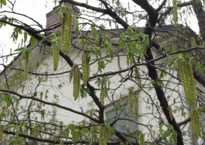 Tree in Nichols Arboretum