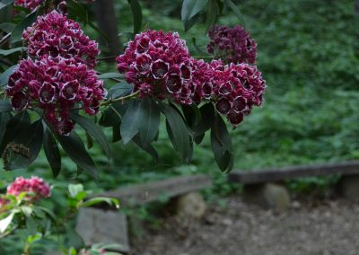 Mountain laurel in the Heathdale area of Nichols Arbboretum