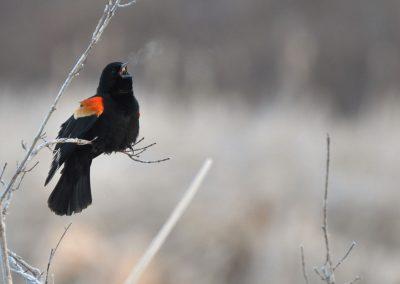 Red-winged blackbird
