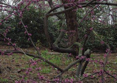 A redbud in the Arb.