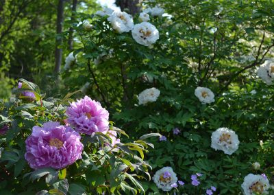 Tree peonies in bloom, often several weeks before herbaceous peonies. In Nichols Arboretum.