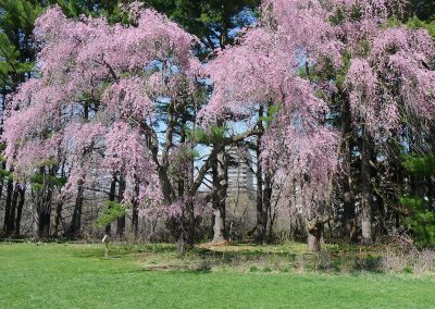 A weeping cherry near Dow Field in Nichols Arboretum.