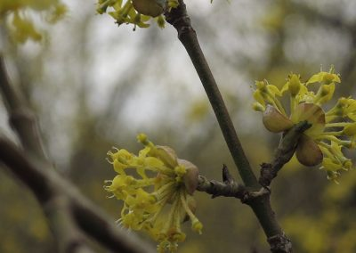 Spring-blooming woody shrubs in Nichols Arboretum