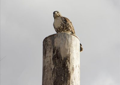 Red-tailed hawk at Matthaei by Zohair Mohsen