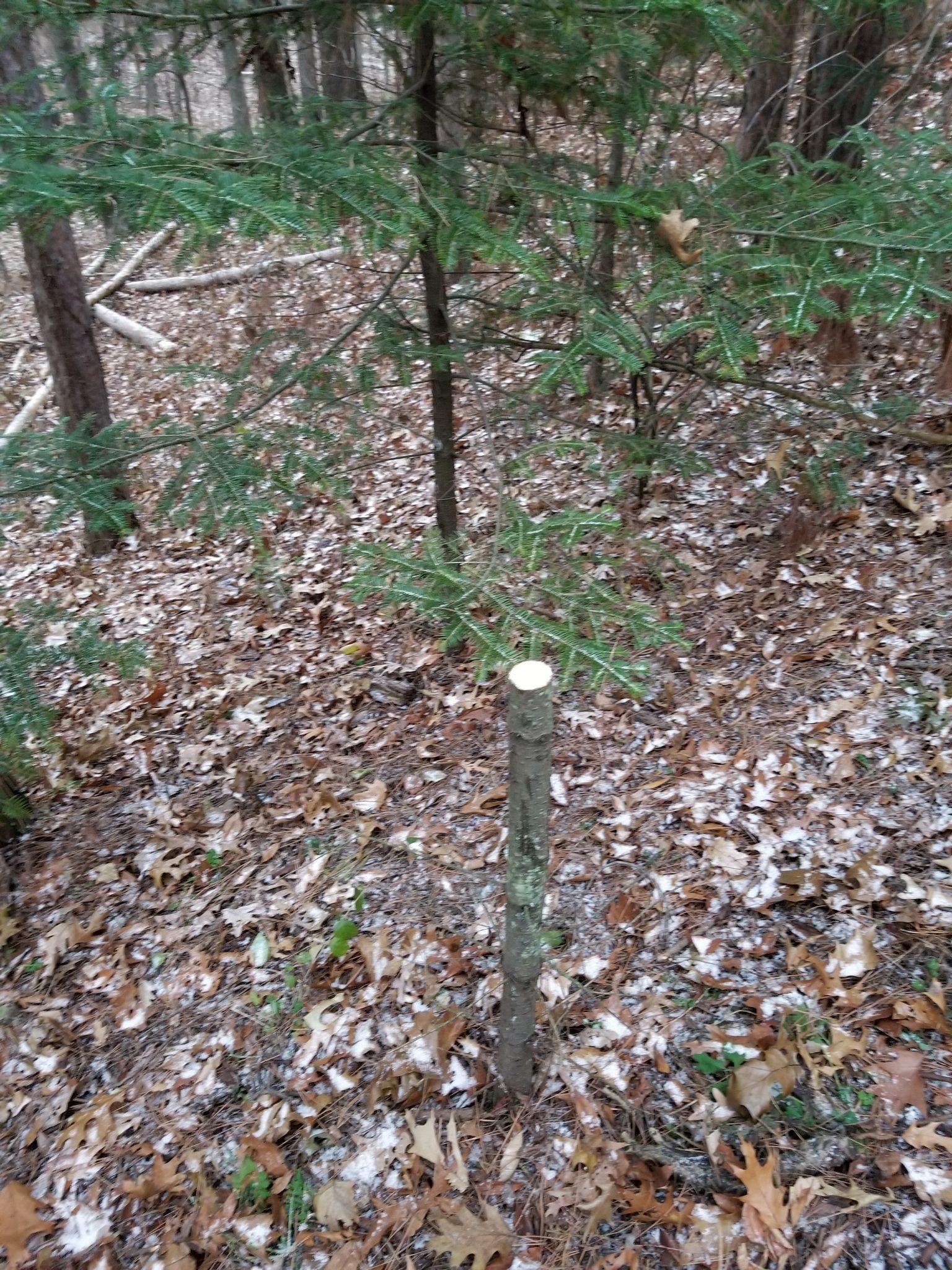 Cut stump of Fraser fir in the Arb