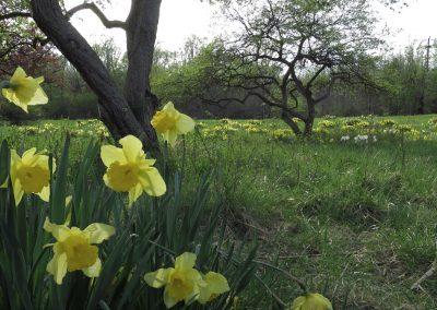 Spring flowering bulbs near the Matthaei entrance