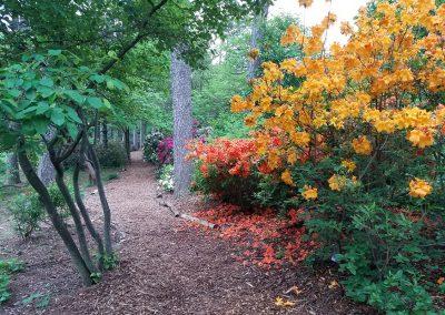 Azaleas in Laurel Ridge at Nichols Arboretum