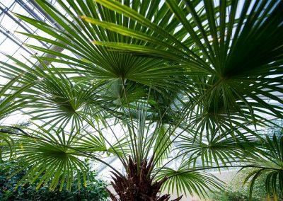 Conservatory-palm