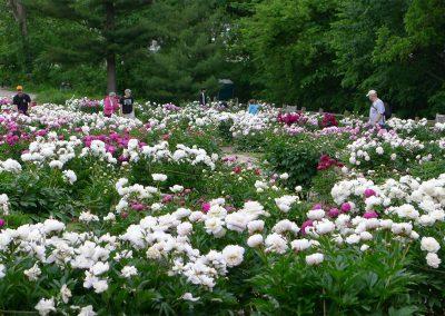 Nichols Arboretum Peony Garden