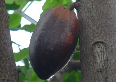 Cacao pod ripening