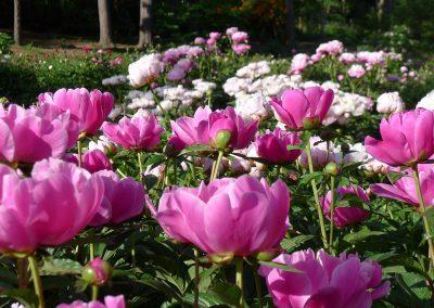 The Nichols Arboretum Peony Garden in bloom