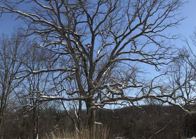 A bur oak at Matthaei Botanical Gardens