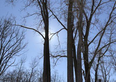 Bur oaks in the Gaffield Children's Garden at Matthaei