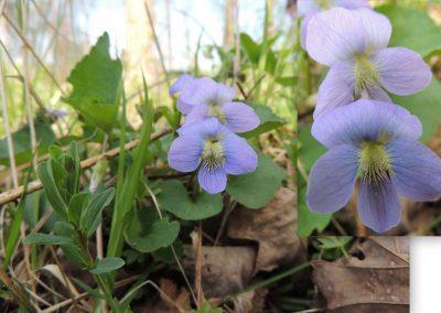 Blue wood violet