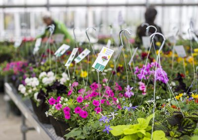Several hanging baskets in greenhouse.