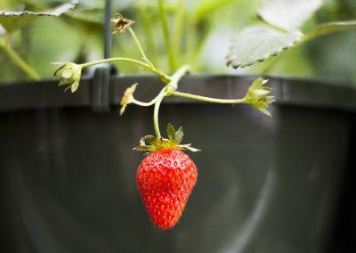 Strawberry on a vine.