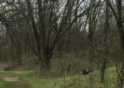 Turkey sighting by Kevin Bechard