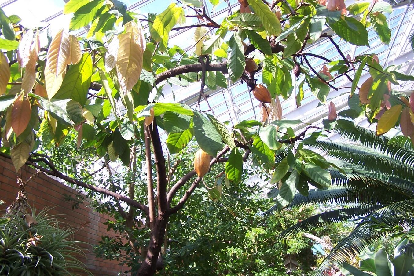 Cacao tree at Matthaei