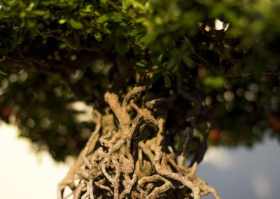 Exposed Bonsai roots.