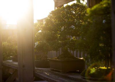 Bonsai Tree.