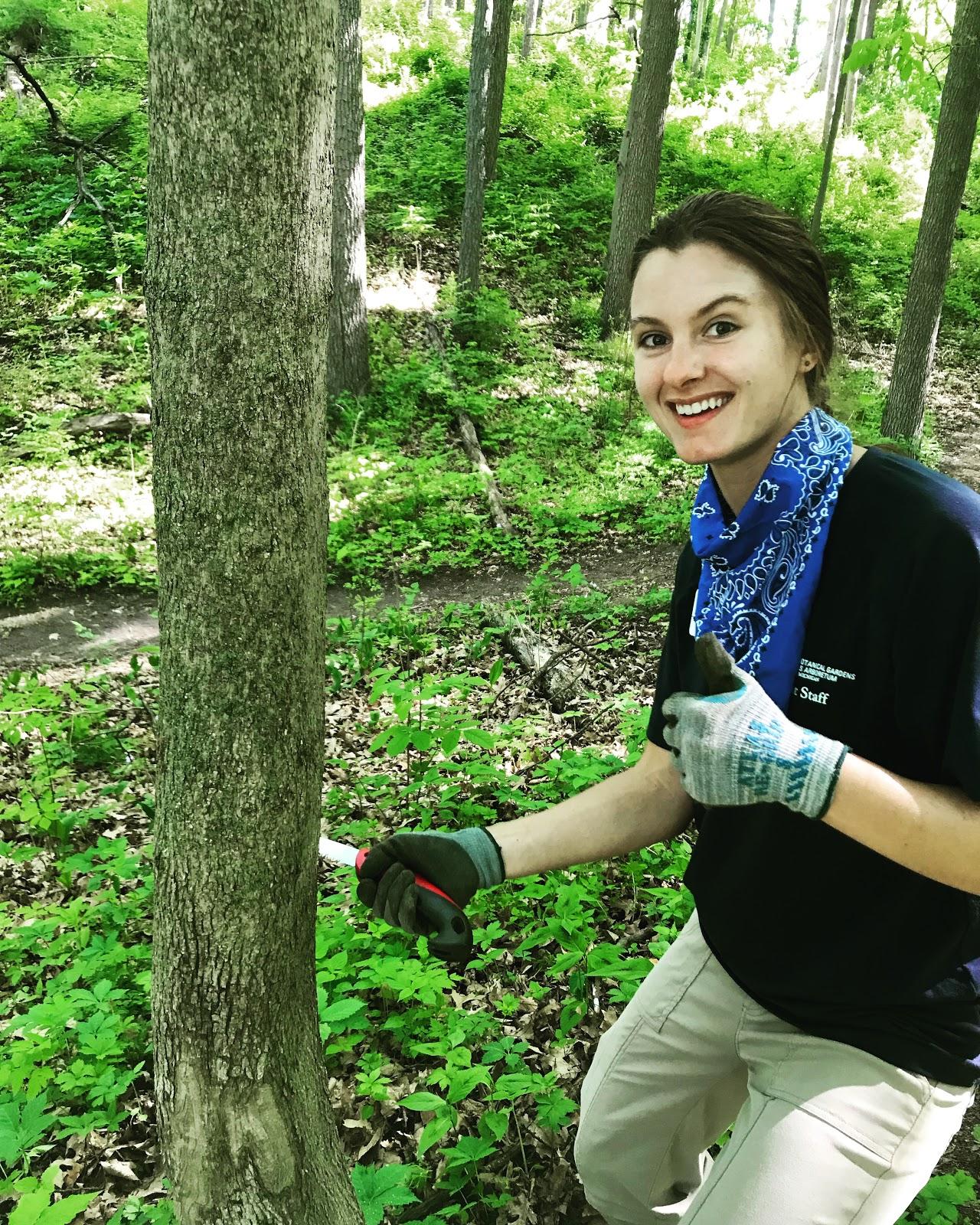 Casey Haggerty girdling a Norway maple