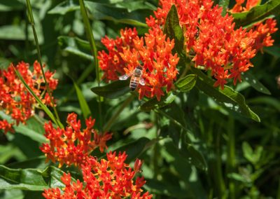 Butterfly weed at Matthaei. Photo by Kim Scholl.