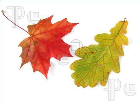 Maple-oak leaves