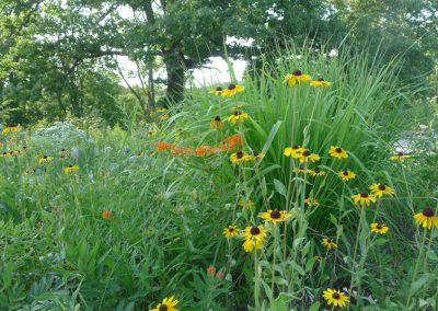 Rudbeckia and butterfly weed in the Great Lakes Gardens at Matthaei.