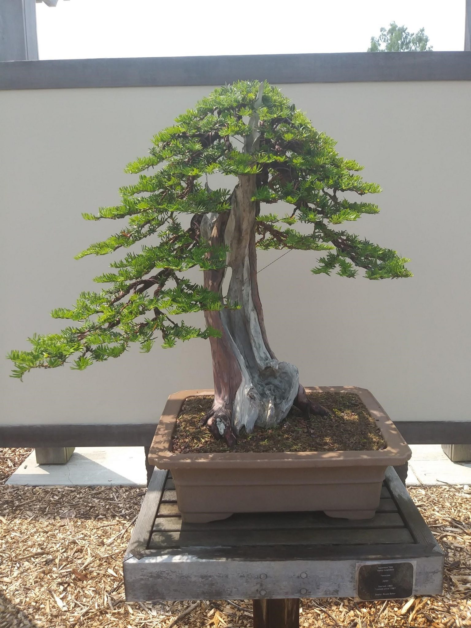 Yew in bonsai garden