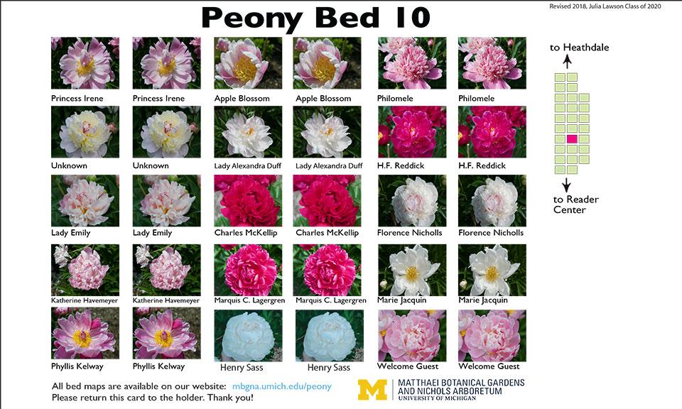 Peony garden bed #10