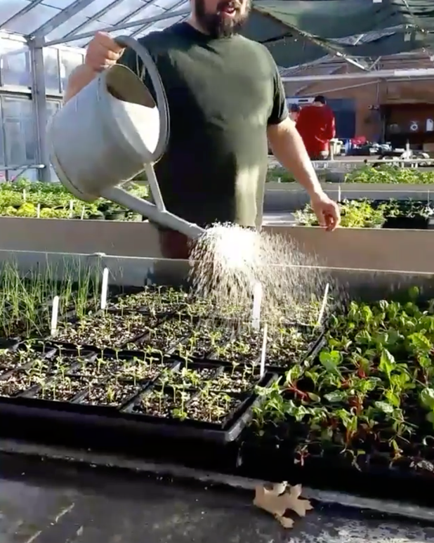 Watering greens in the greenhouse at Matthaei