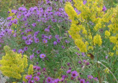 Aster and goldenrod