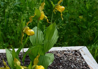 Northern lady's-slipper orchid